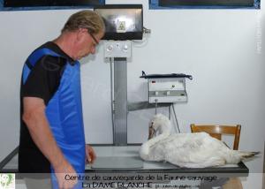 Gérard Bertran prend le relais des soins au cygne